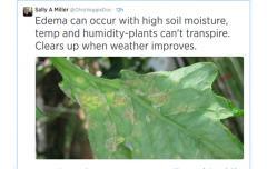 photo of edema on leaf